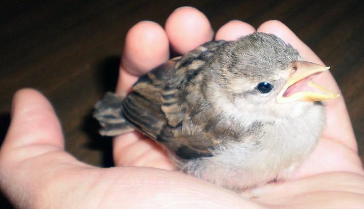 uccello caduto dal nido