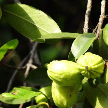Garcinia Cambogia proprietà e benefici