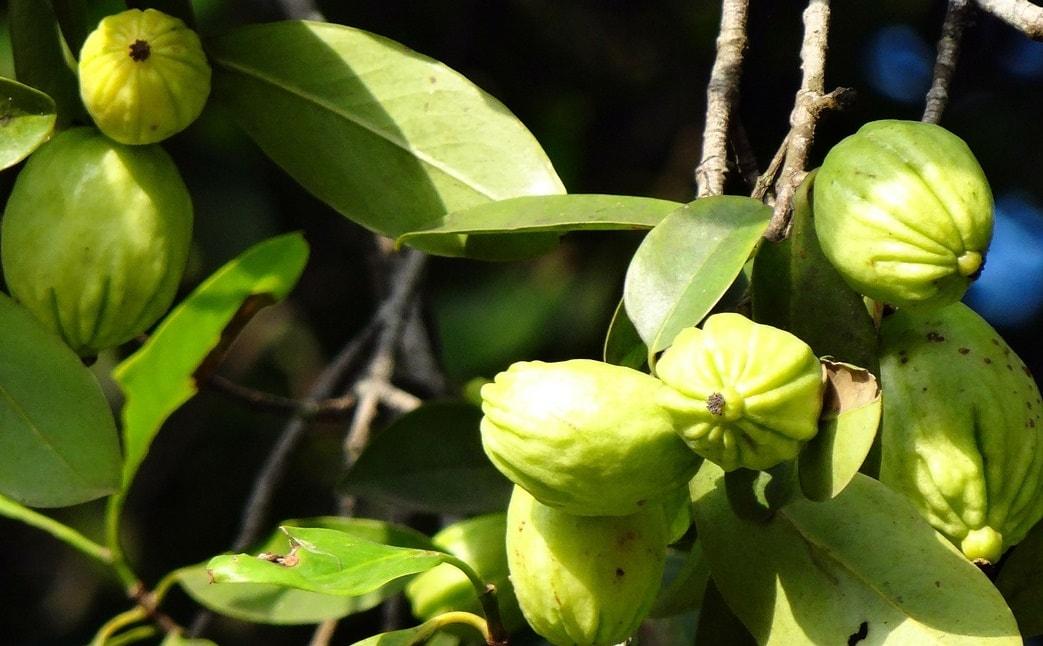 Garcinia Cambogia Proprieta E Benefici A Trendy Experience