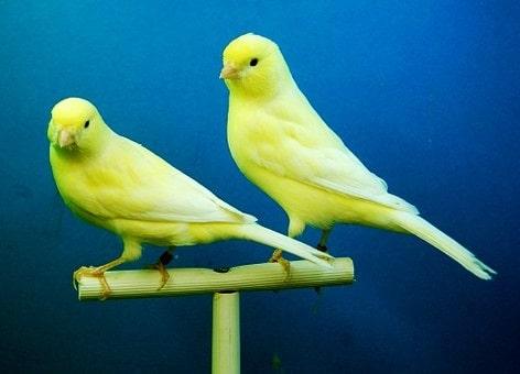 come preparare la gabbia per gli uccelli canarini