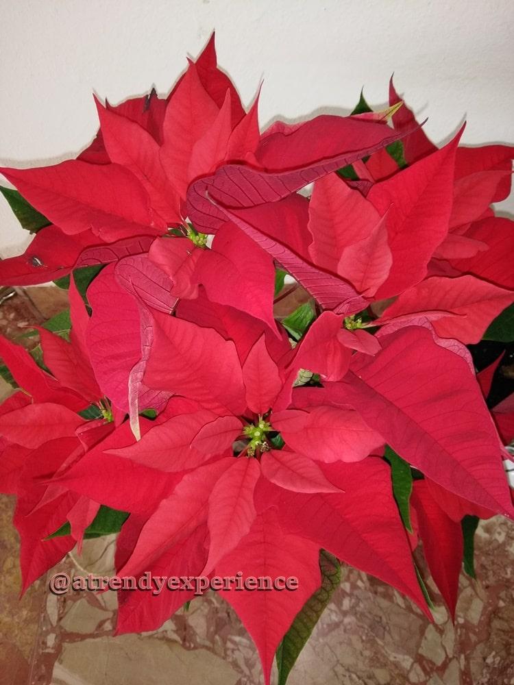 pianta natalizia stella di natale