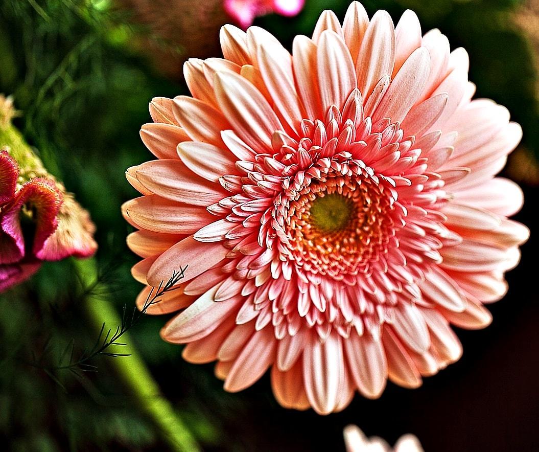 Vuoi coltivare piante eleganti? Scegli le gerbere