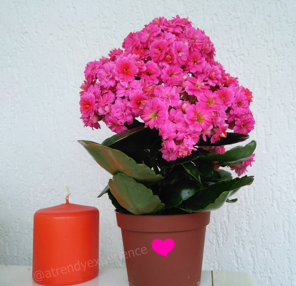 Kalanchoe consigli su irrigazione potatura e come curarla a casa e in giardino