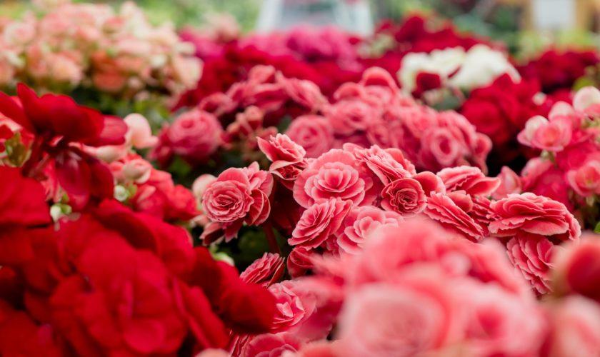 fiori da regalare a san valentino