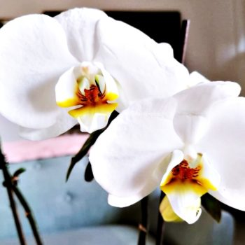 orchidea in vaso consigli per farla vivere tutto l'anno