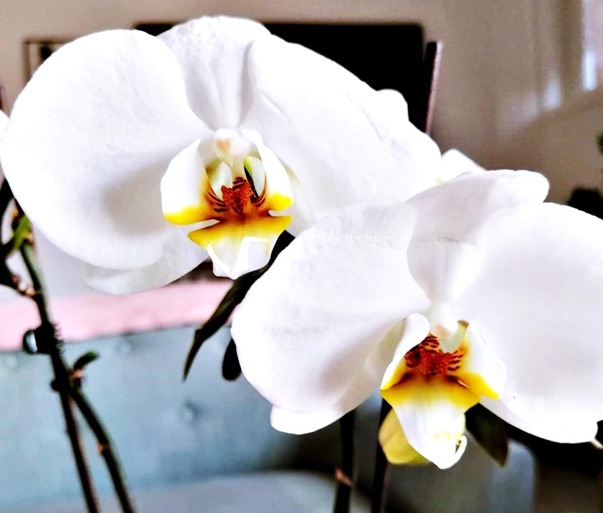 Orchidea in vaso, come Curarla, Conservarla e farla Rifiorire in modo naturale