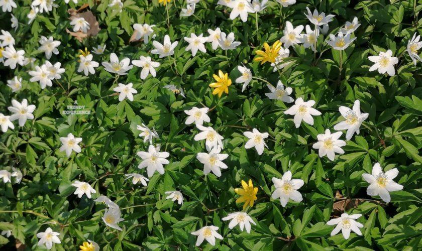 anemone fiore del bosco