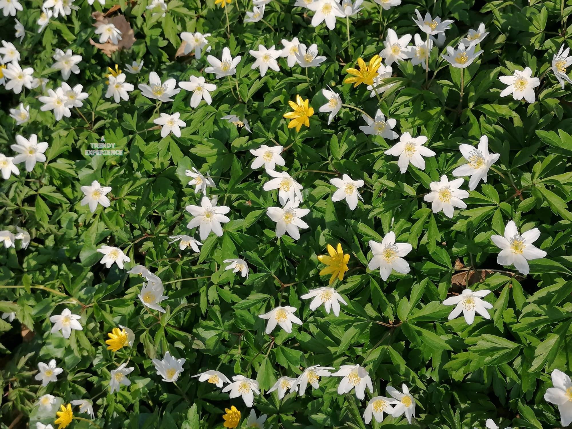 Anemone fiore cure e manutenzione, leggenda e significato