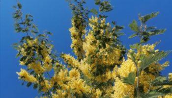 mimosa pianta cura manutenzione irrigazione