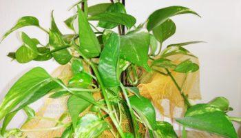 potos pianta verde manutenzione e cura
