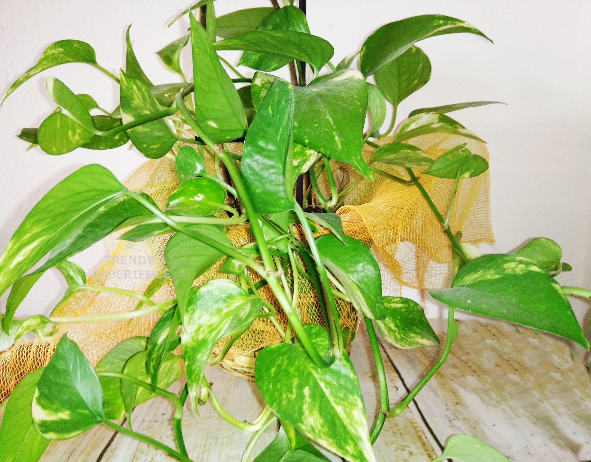 Potos, la pianta da interno più facile, economica e salutare da avere in casa!