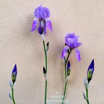 iris o giaggiolo come coltivarlo in giardino o in vaso