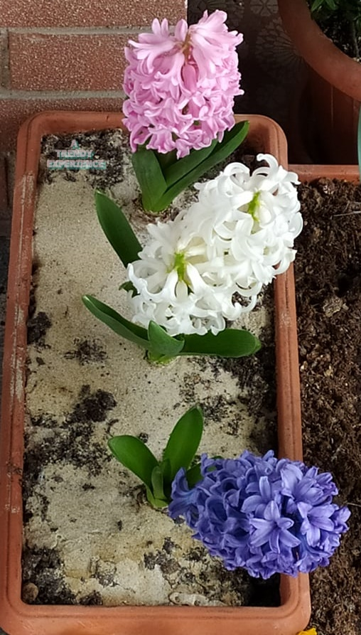 Giacinto consigli pratici su come coltivarlo in giardino o in vaso e significato