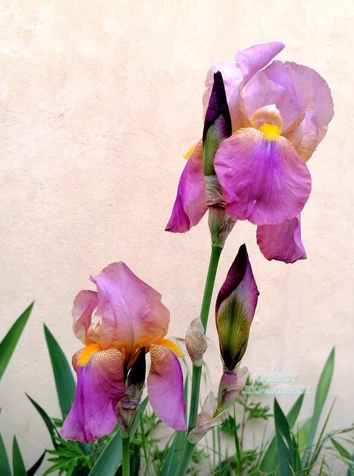 iris o giaggiolo viola