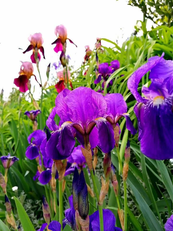 prato di iris giaggiolo