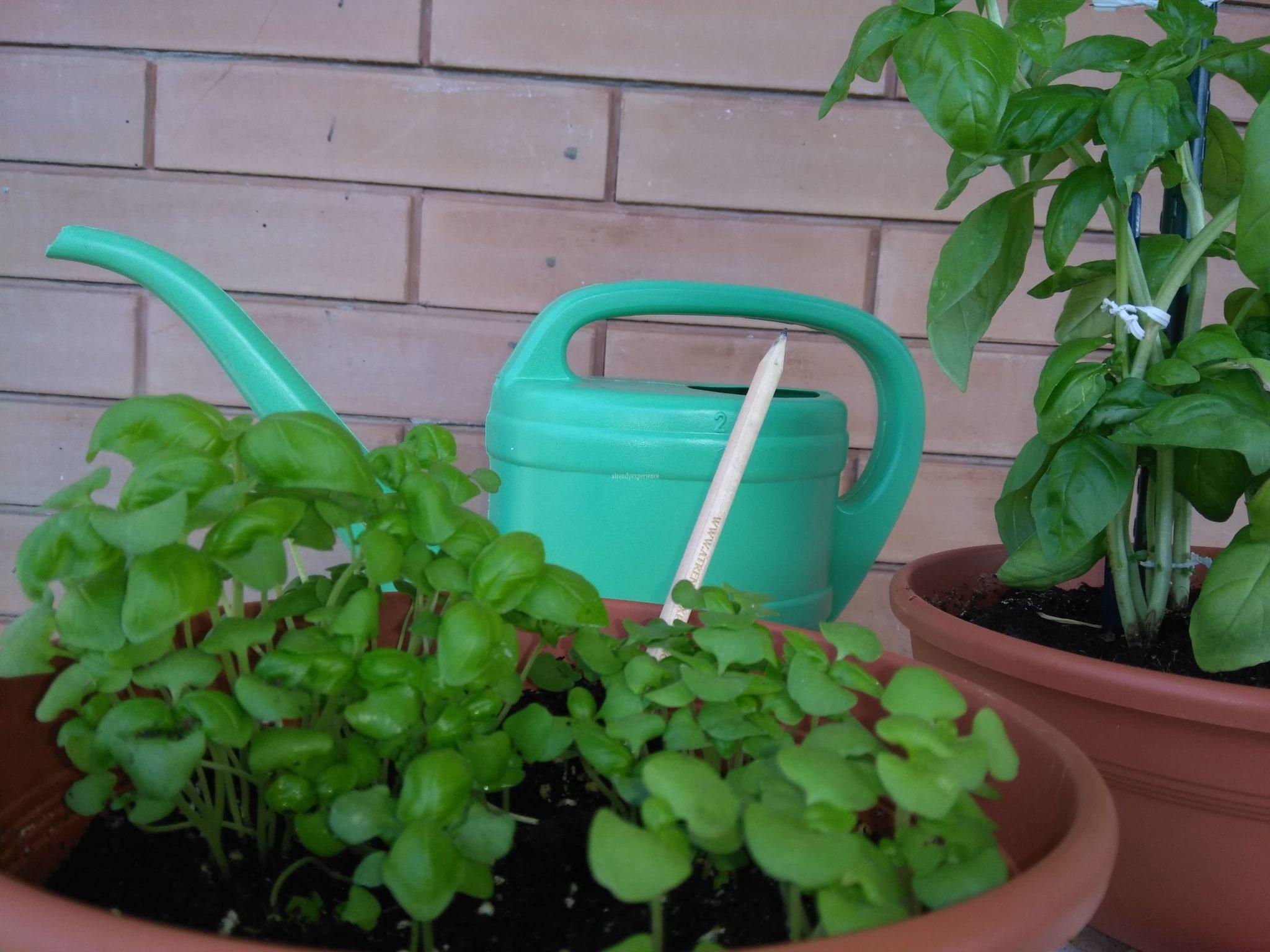 basilico in vaso semi sprout matita piantabile
