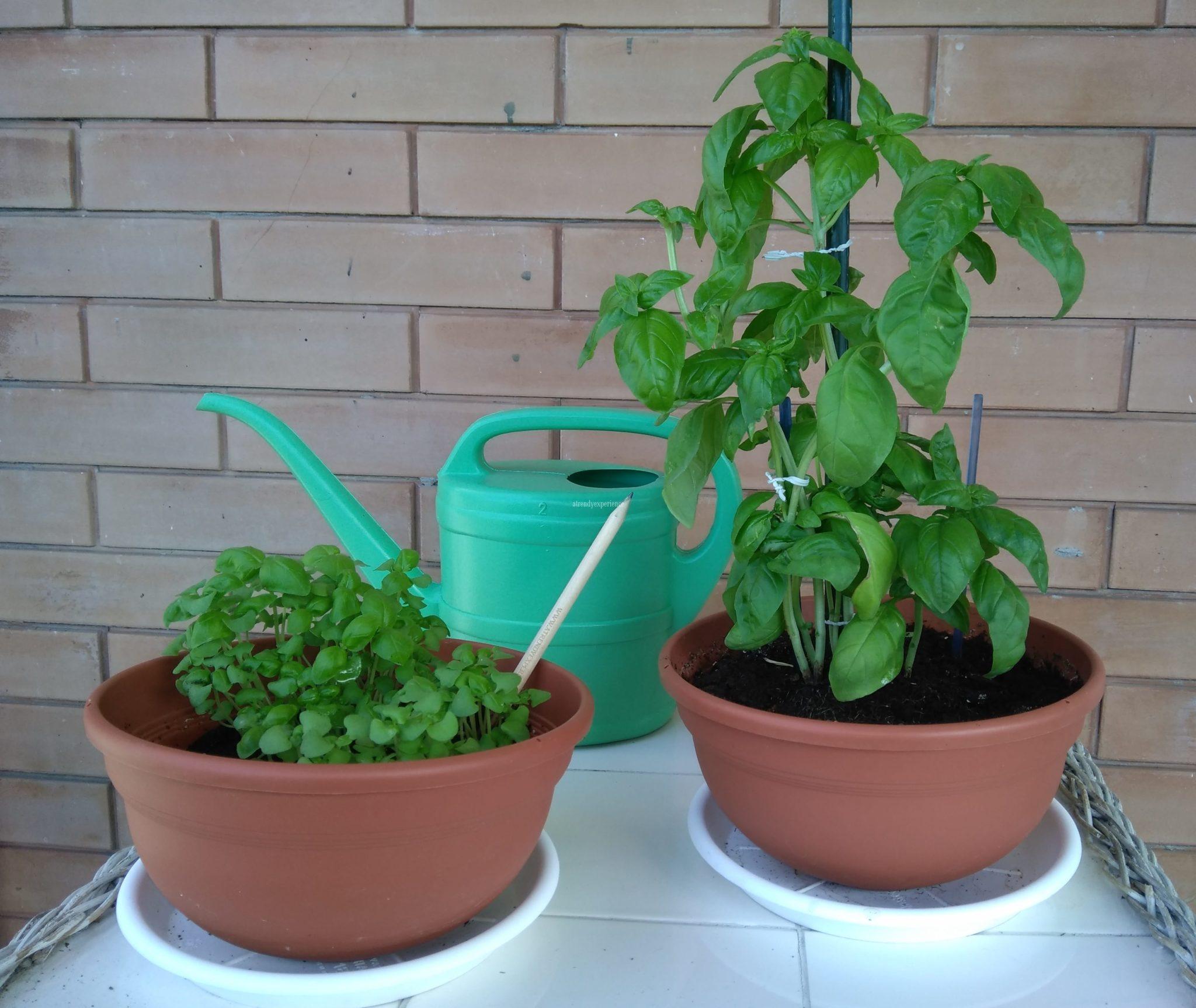 coltivare basilico in vaso tipi di vasi irrigazione e consigli utili