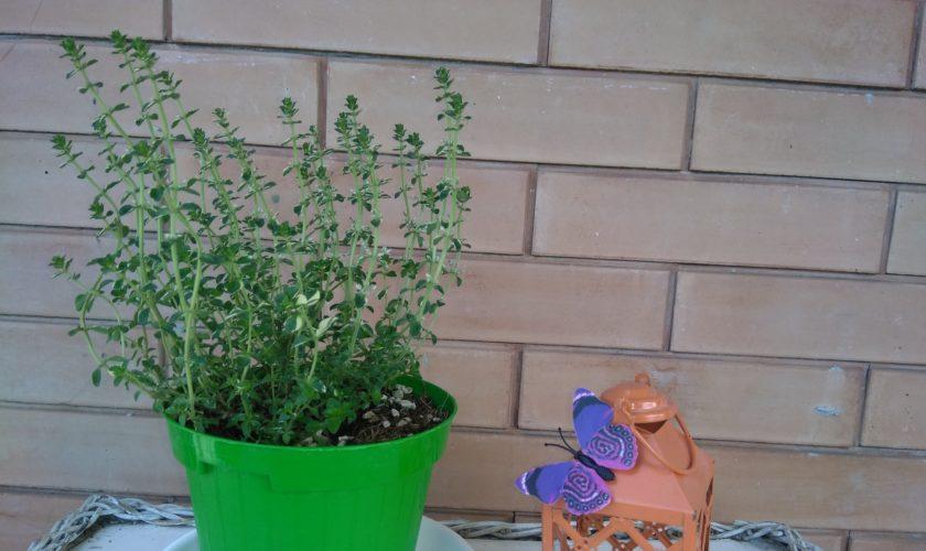 timo in vaso pianta aromatica