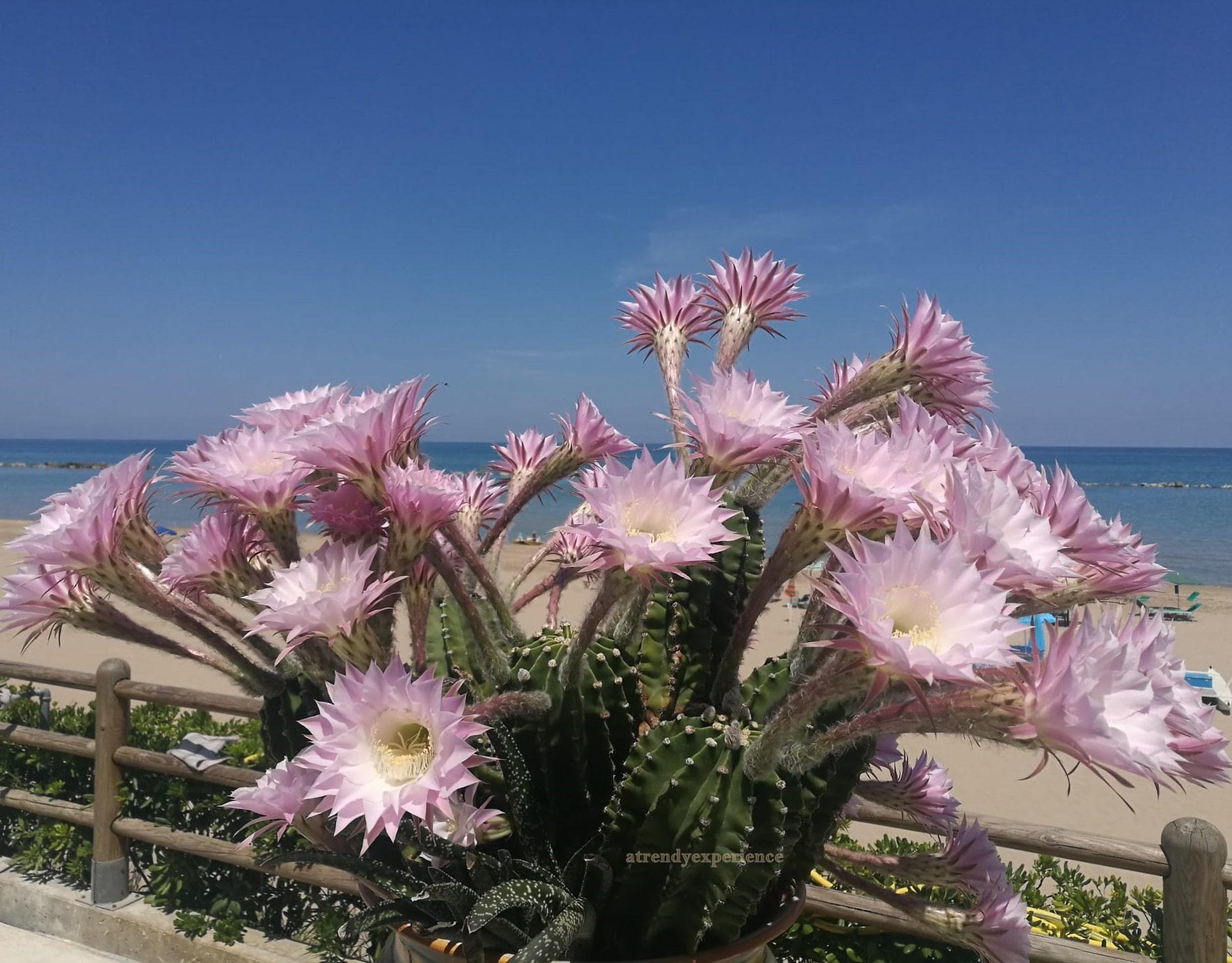 echinopsis eyriesii pianta cactacea