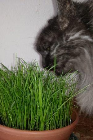 erba gatta filiforme proprietà e come si fa crescere