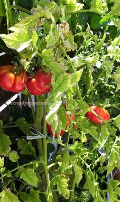 come coltivare i pomodori in vaso i miei pomodori