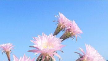 echinopsis eyriesii