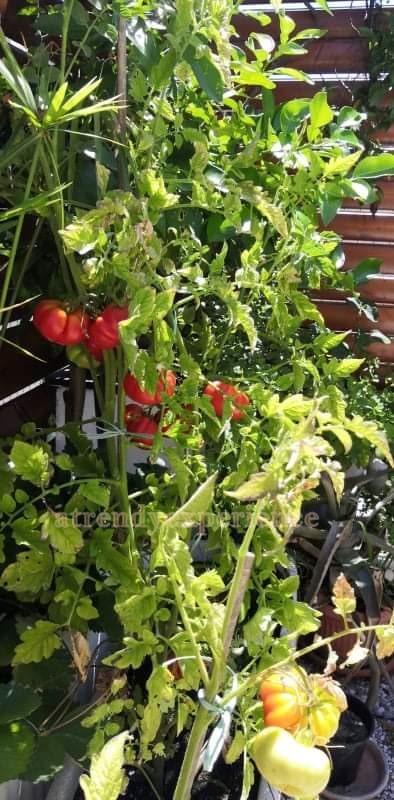 pomodori in vaso occhio di bue