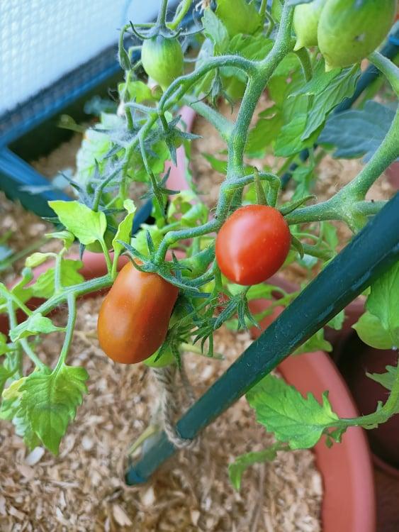 pomodori in vaso maturi