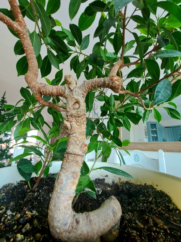 bonsai ficus ginseng trapiantato