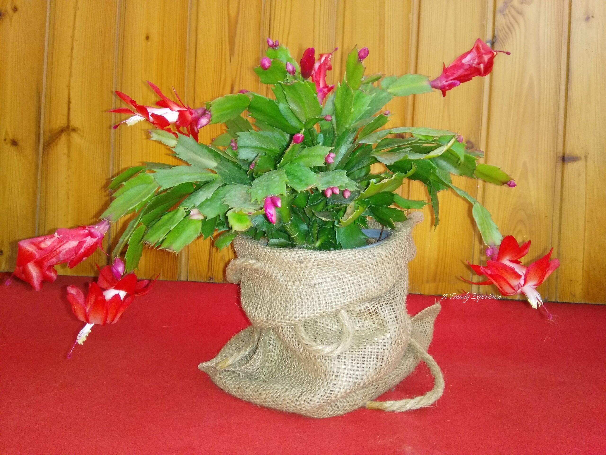 schlumbergera cactus di natale in fiore