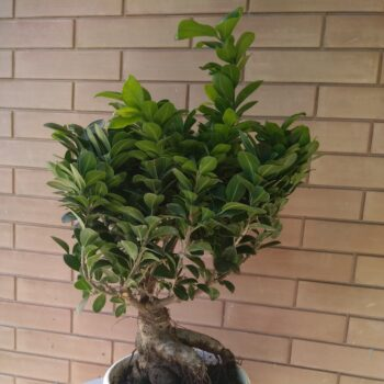 ficus comprato su pianteclub