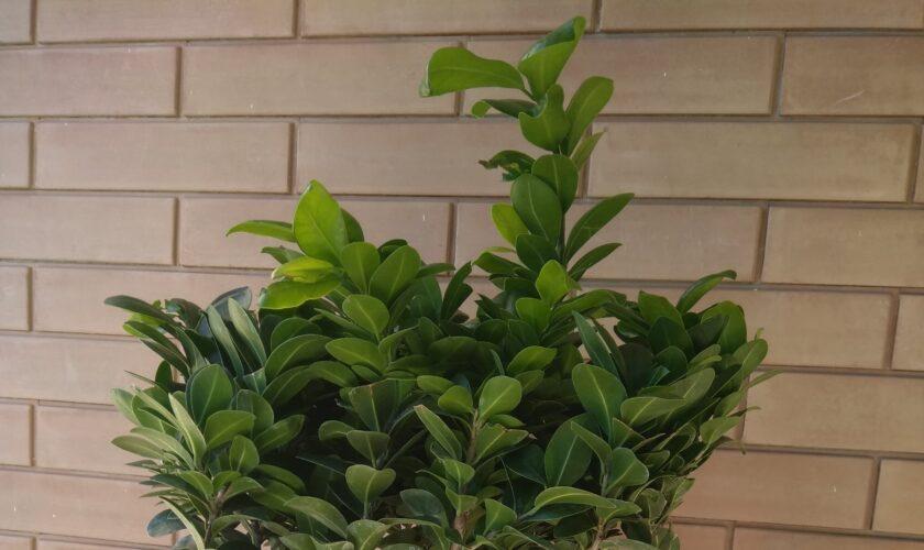 bonsai ficus ginseng cura e manutenzione