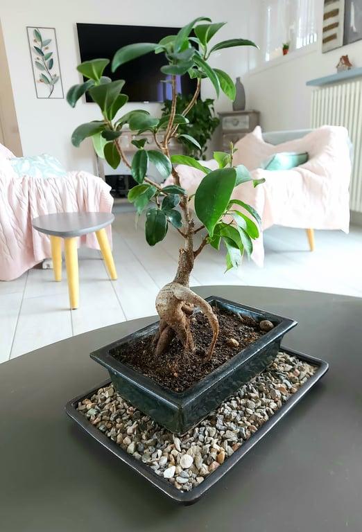 bonsai ficus ginseng di 12 anni