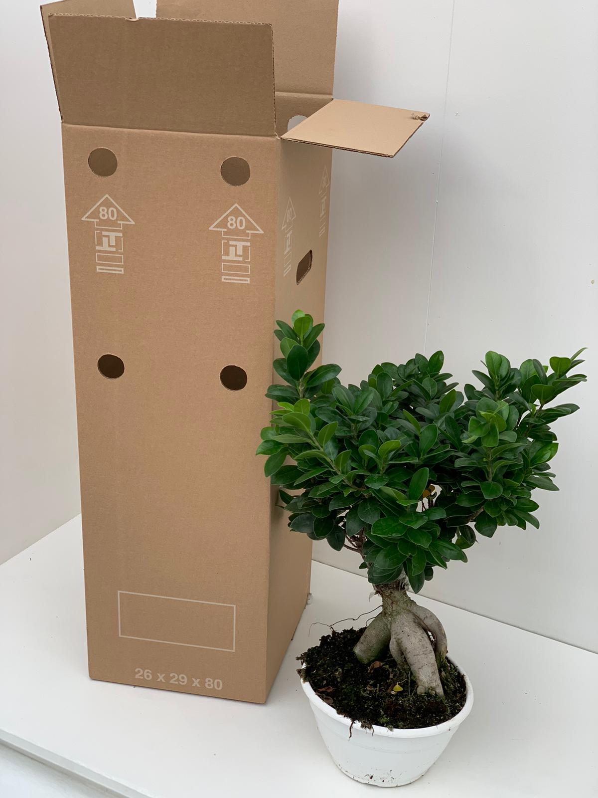 ficus pianteclub