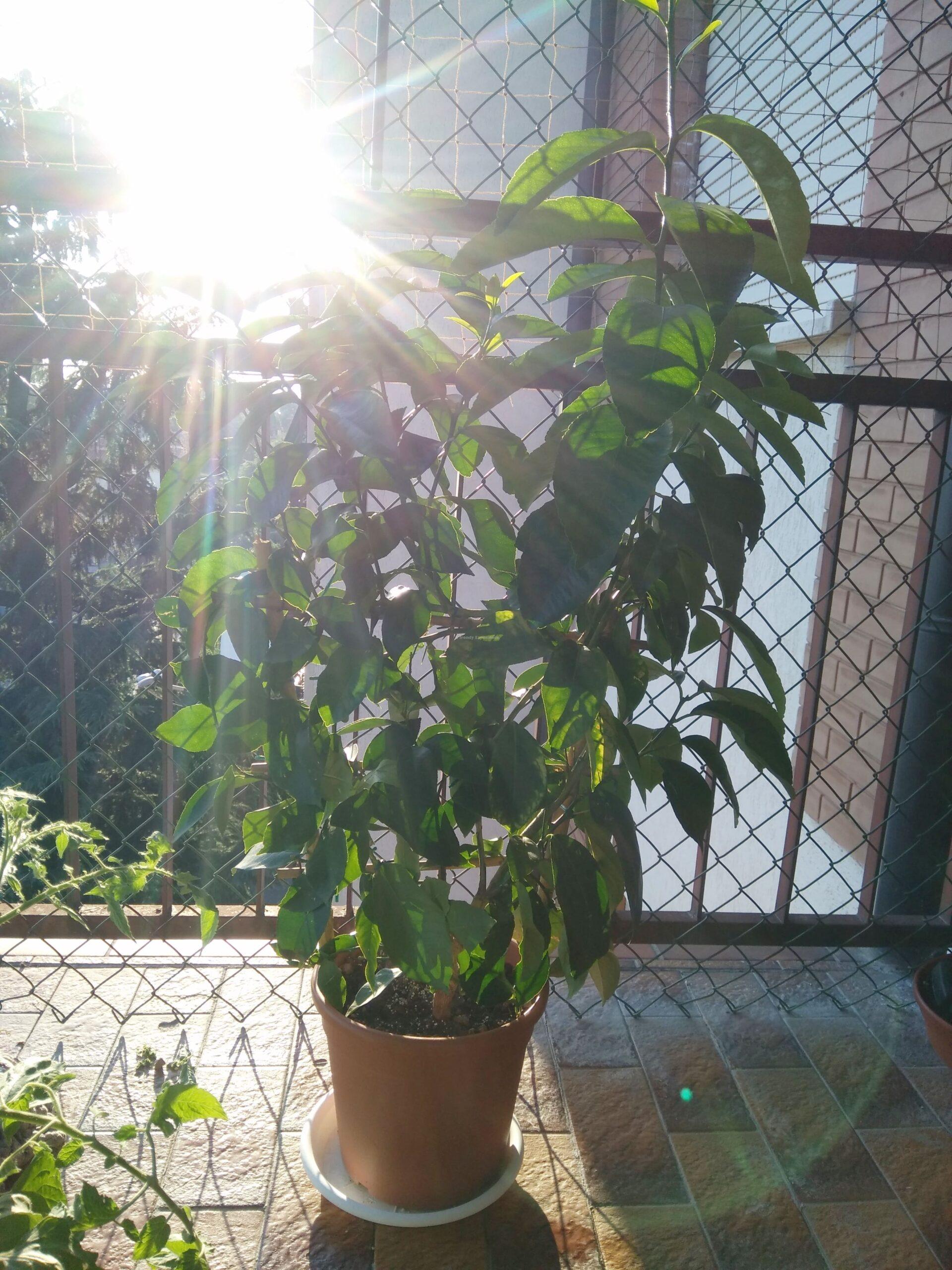 pianta di limoni in vaso dove posizionarla