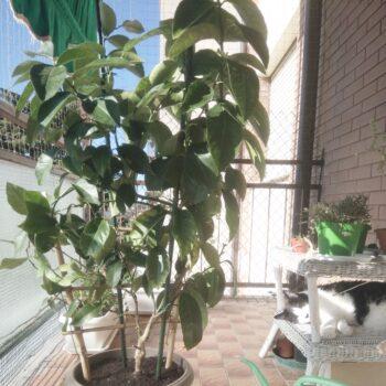 come fare il rinvaso della pianta del limone passo dopo passo
