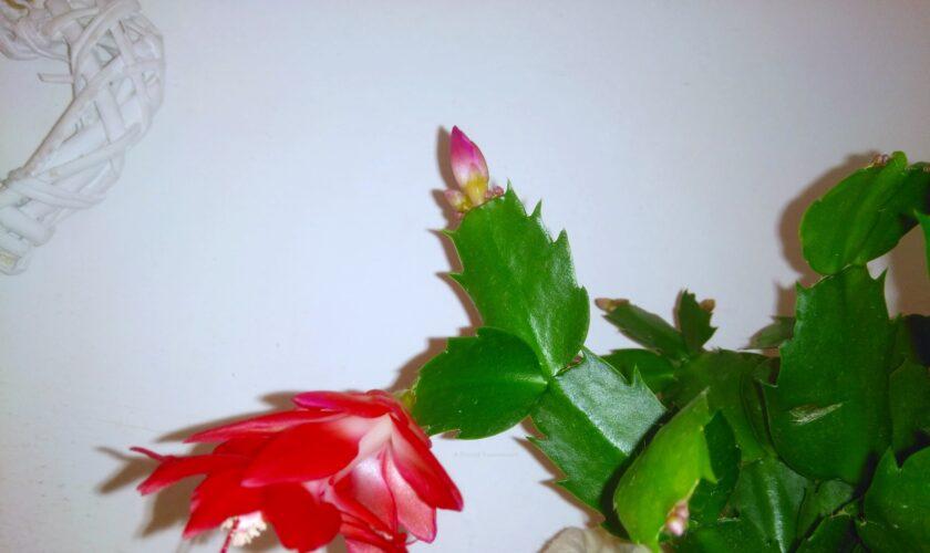Schlumbergera Cactus Di Natale fioritura cure e manutenzione