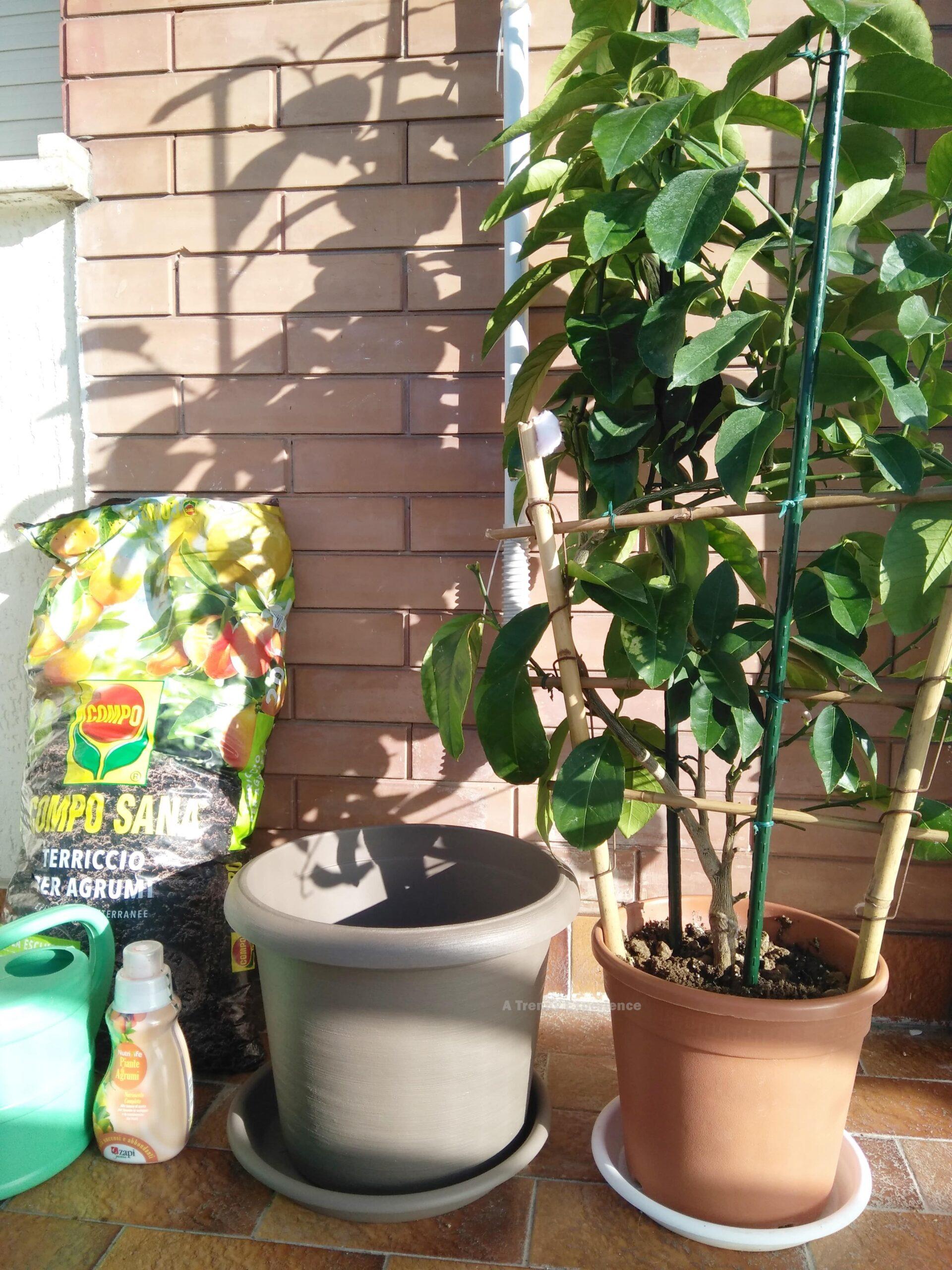 rinvaso pianta di limoni in vaso