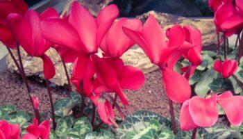 coltivazione ciclamini
