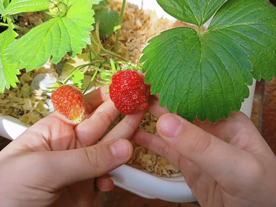 coltivare fragole in vaso le nostre prime fragole