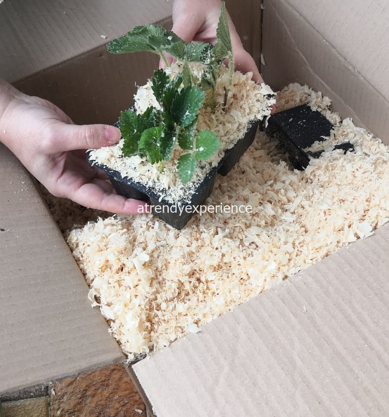 coltivare fragole in vaso cura e manutenzione