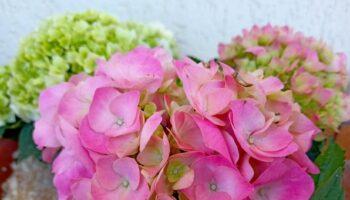 come coltivare l'ortensia in vaso