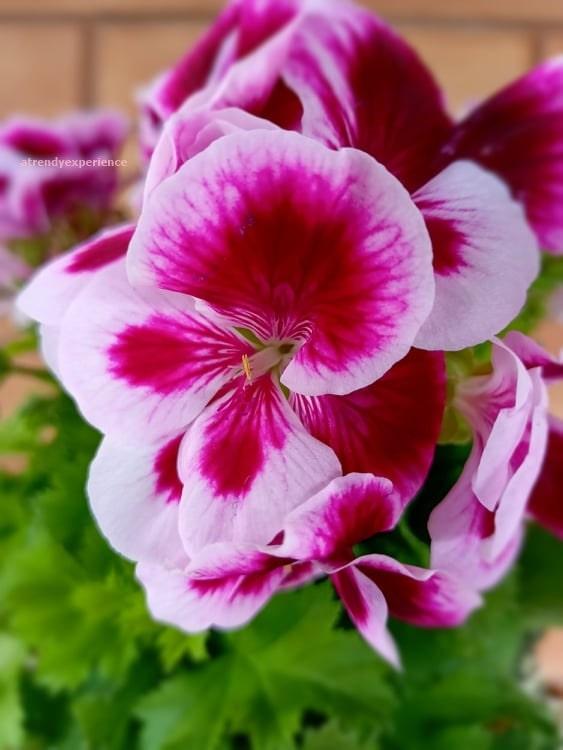 Storia del geranio in breve e significato del colore dei suoi fiori