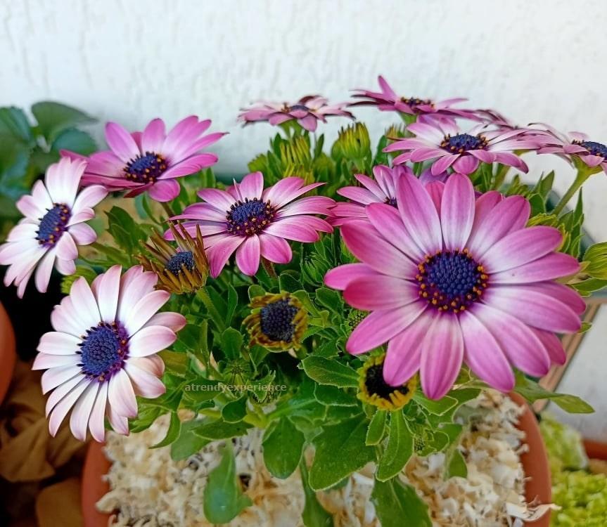 Come travasare la pianta in altro vaso o terreno