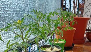 orto sul balcone pomodori in vaso