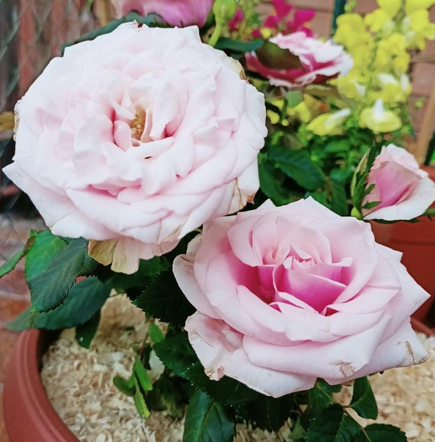 come coltivare la rosa in vaso