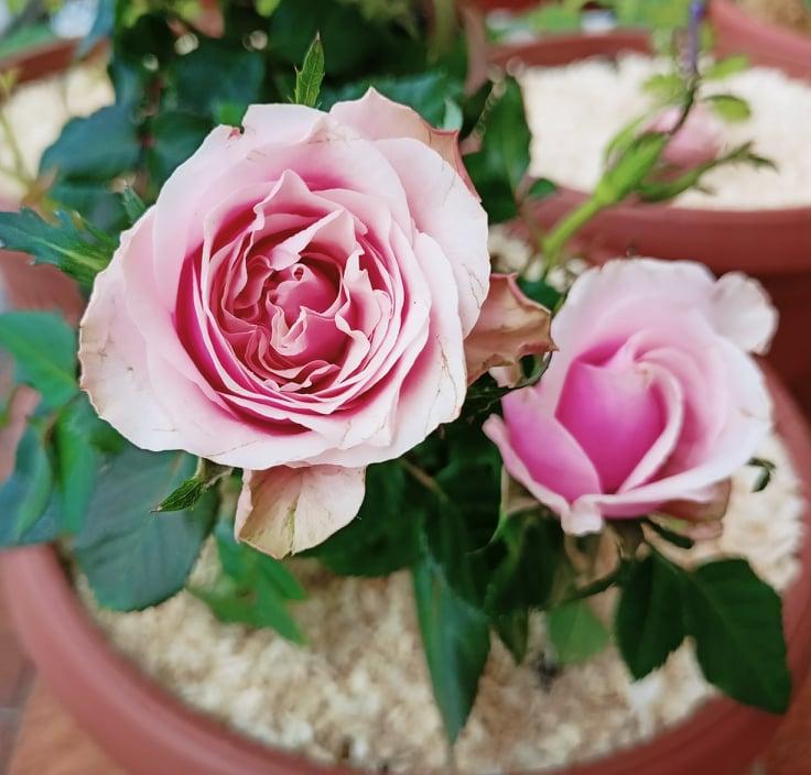 Rose in vaso: irrigazione e concimazione