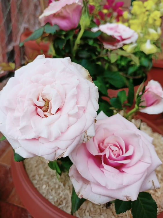 coltivare la rosa in vaso i parassiti
