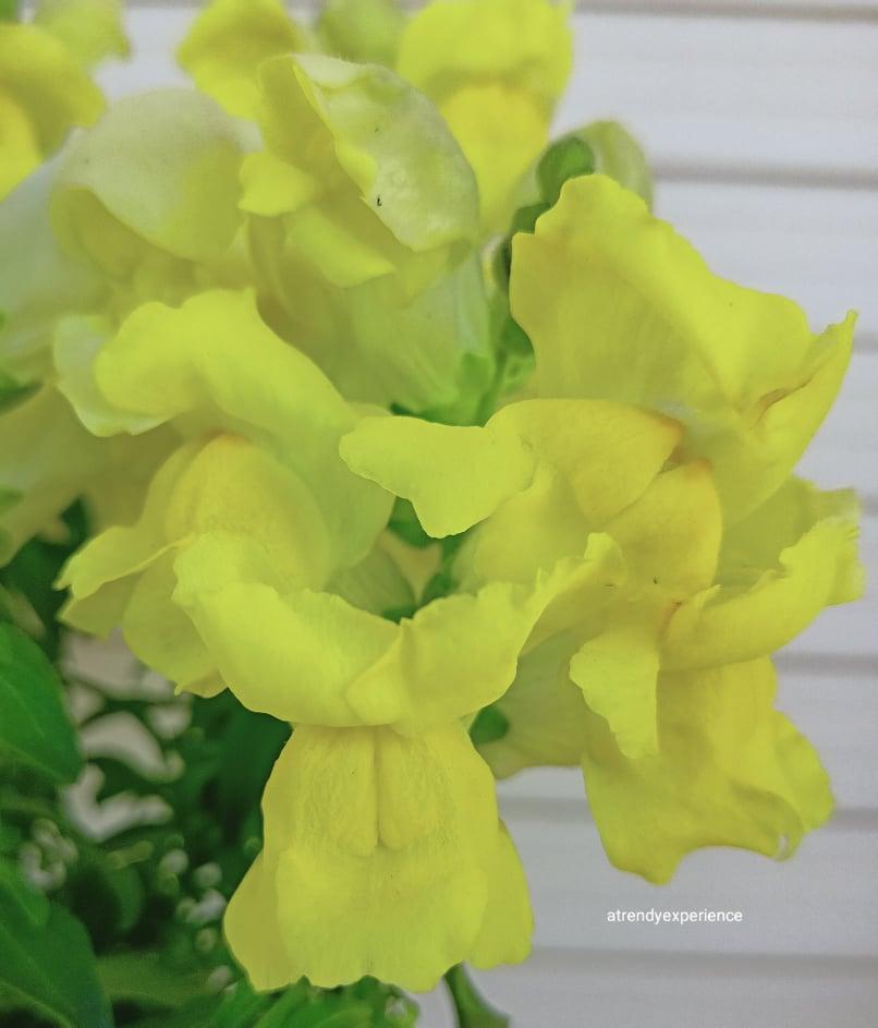 bocche di leone gialle