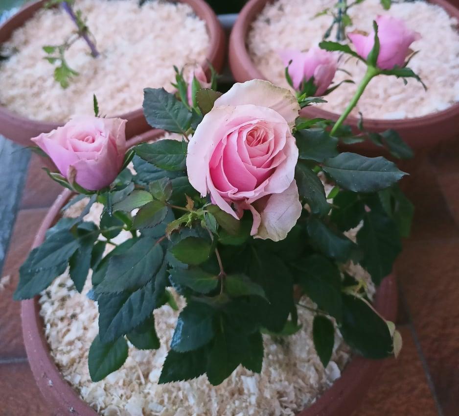 coltivare la rosa in vaso: irrigazione